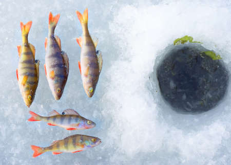 perch fish group on blue ice. Winter leisure theme
