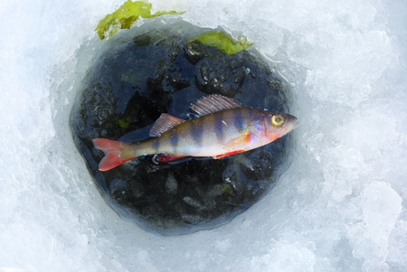 perch fish in ice hole photo