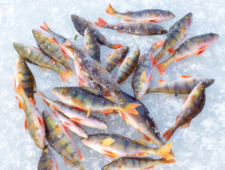 freshwater fishing: fish on blue ice background. winter fishing leisure theme