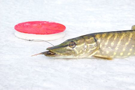 pike on the ice with fish in jaws