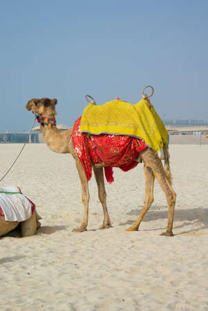 Camel on Jumeirah Beach photo