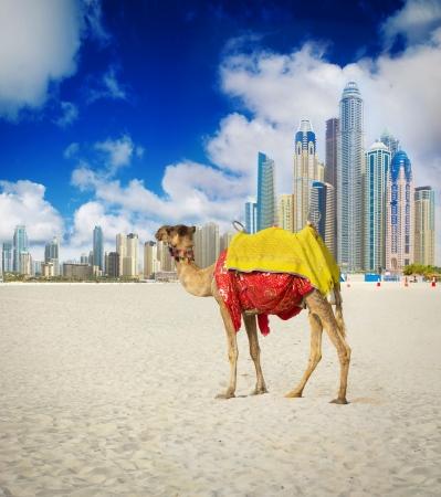 Verenigde Arabische Emiraten: Camel in Dubai Marina, Verenigde Arabische Emiraten
