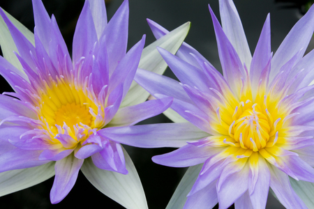 Bright purple Lotus and close up  yellow pollen Stock Photo