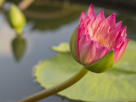 Side view red Lotus with Lotus stalk on leaf and bud background