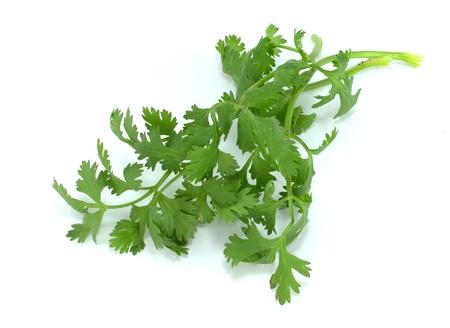 coriandrum sativum: Cilantro