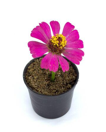 closeup: Cosmos Flower Stock Photo