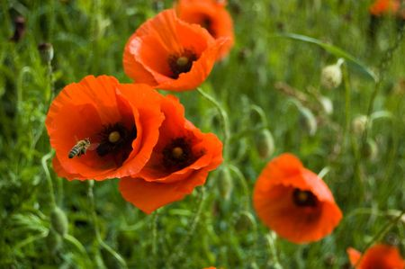 A bee twirls near  the red flowers of wild poppy on the blur green background.