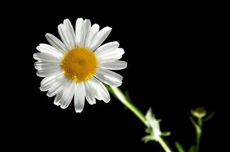 Daisywheel flower on the black background. Stock Photo