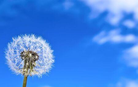 Dandelion on the blue sky background.