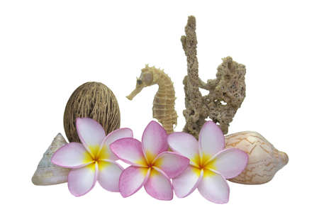 Plumerias set with Dried Sea sponge, Sea shell and Sea Horse, Isolate on White background Stock Photo