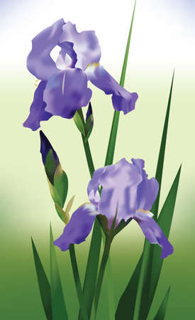 iris flower: Iris Purple Flower  Vector Illustration