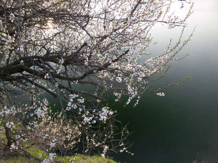 flowering cherry on background of water photo