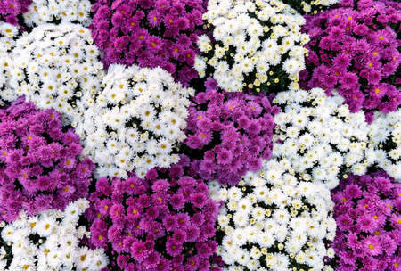 Carpet of flowers made of chrysanthemums, image from above 免版税图像