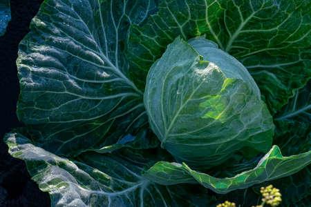 White cabbage in the garden 免版税图像