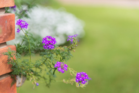 Background of little purple Prairie verbena (Glandularia species) small flowers & leaves with green yard, white bush and orange brick wall with copy space for text design decoration, selective focus Stock Photo