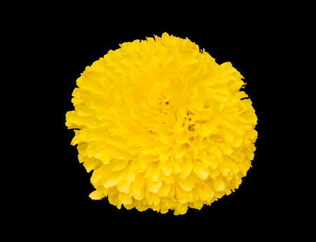 Beautiful, real, soft and fresh yellow Mexican marigold bud flower (Tagetes erecta) isolated on black background with clipping path included for graphic design use, top view angle