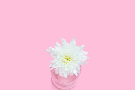White Chrysanthemum flowers in clear glass bottle on cute sweet pink background with copy space for text, logo, wordings decoration, innocent white love for wedding party, mother day, valentines day