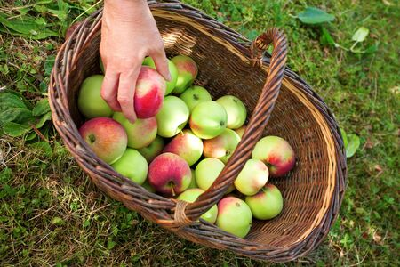 Hand puts apple into basket photo