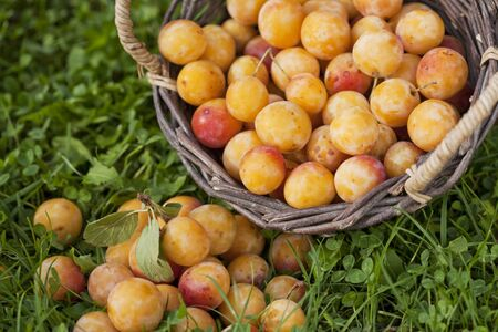 Mirabelle plums in a basket photo