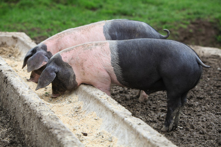 trough: Two pigs eating on a trough