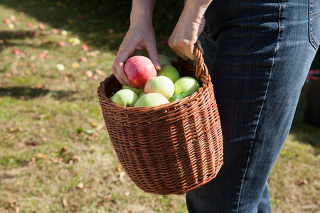 Woman harvesting apples photo