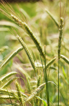 secale: Rye plants Secale cereale