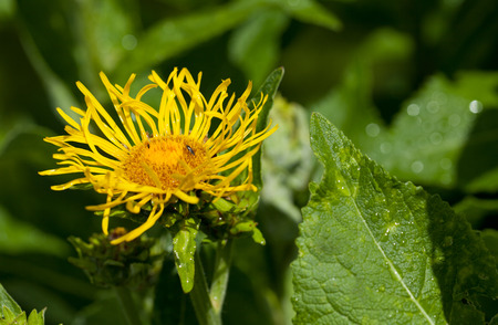 healing plant: Inula flower healing plant