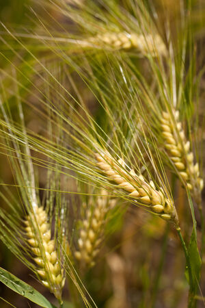 vulgare: Barley plants Hordeum vulgare Stock Photo
