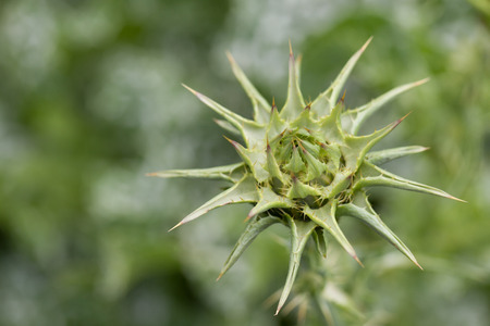 healing plant: Marian thistle healing plant