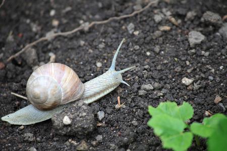 edible snail: Edible snail