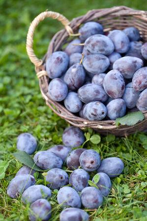 Basket with fresh damson plums photo