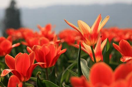 blooms: Spring tulip flower blooms