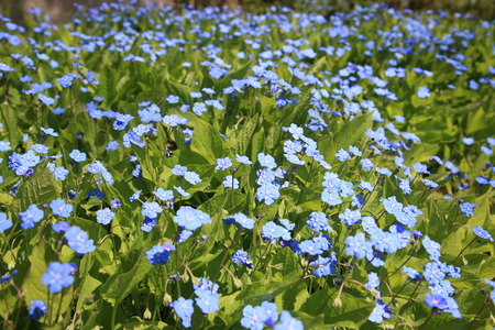 forget: Woldflower meadow with Forget me not flowers