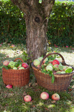 tree vertical: Apple harvest in baskets Stock Photo
