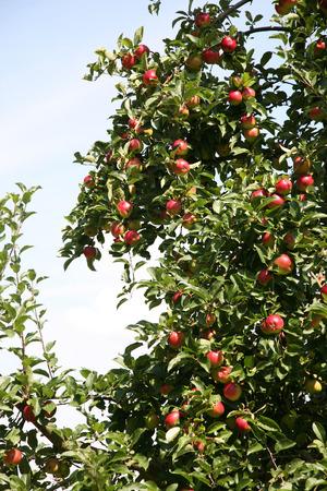 arbol de manzanas: cosecha manzano