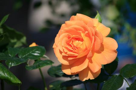 in bloom: Orange rose bloom