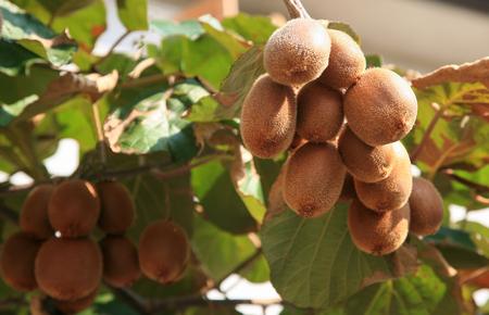 kiwi: Fresh organic kiwi fruits on the tree