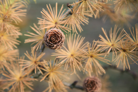 larch tree: Cones and needles of a larch tree Stock Photo