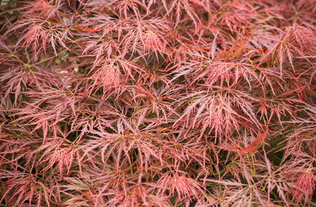 acer palmatum: Many leaves of acer palmatum in autumn