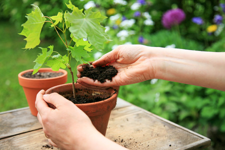 Hands planting a maple tree seedling in a flower pot Stock Photo