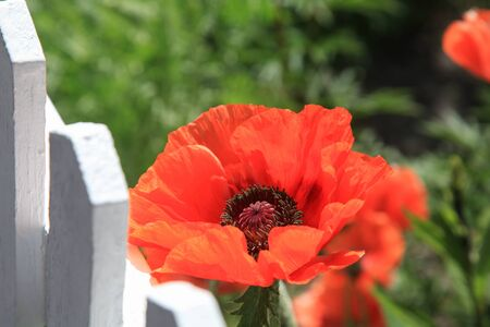 Beautiful red poppy at white painted picket fence