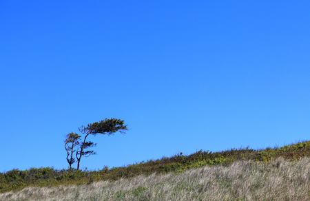 wind blown: Lonely tree bent by the wind near a beach
