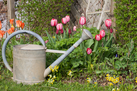 Old metal watering can in the garden with tulips and cowslips