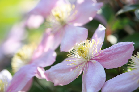 Clematis montana blossoms in the garden