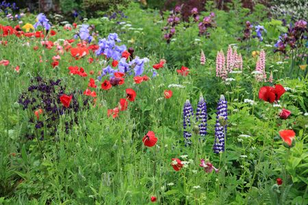 Garden with colorful flowers poppy, iris, lupine and columbine