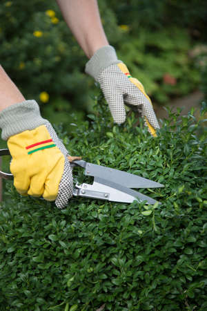 Pruning and shaping a boxwood (Buxus sempervirens) plant with gloves and pruning shears