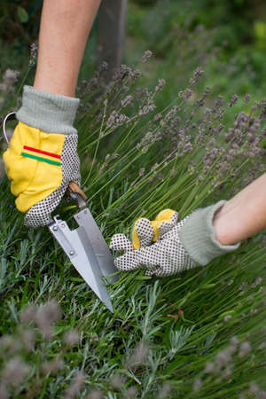 Pruning and shaping a lavender bush in the garden with gloves and pruning shears
