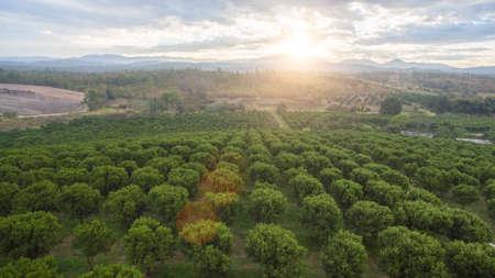 Vista dall'alto di un albero di arancio in giardino. Archivio Fotografico