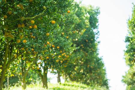 aranci del giardino