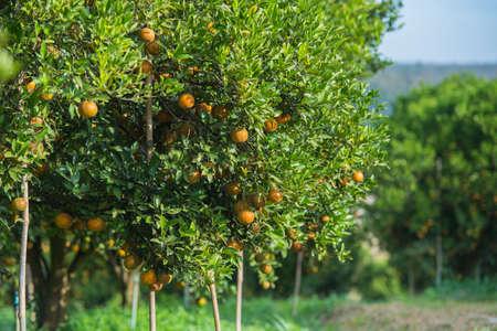 Sinaasappelbomen in de tuin